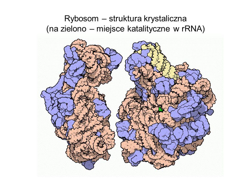 Rybosom – struktura krystaliczna (na zielono – miejsce katalityczne w rRNA)