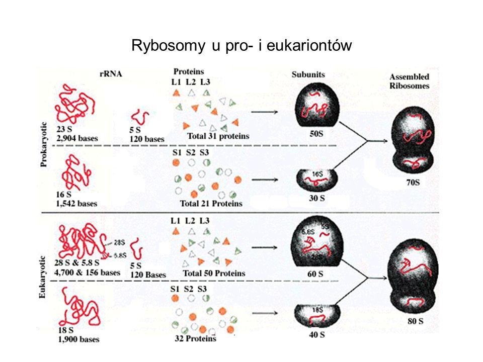Rybosomy u pro- i eukariontów