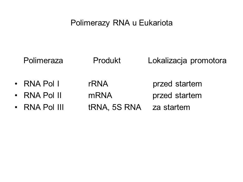 Polimerazy RNA u Eukariota Polimeraza Produkt Lokalizacja promotora RNA Pol I rRNA przed startem RNA Pol II mRNA przed startem RNA Pol III tRNA, 5S RN