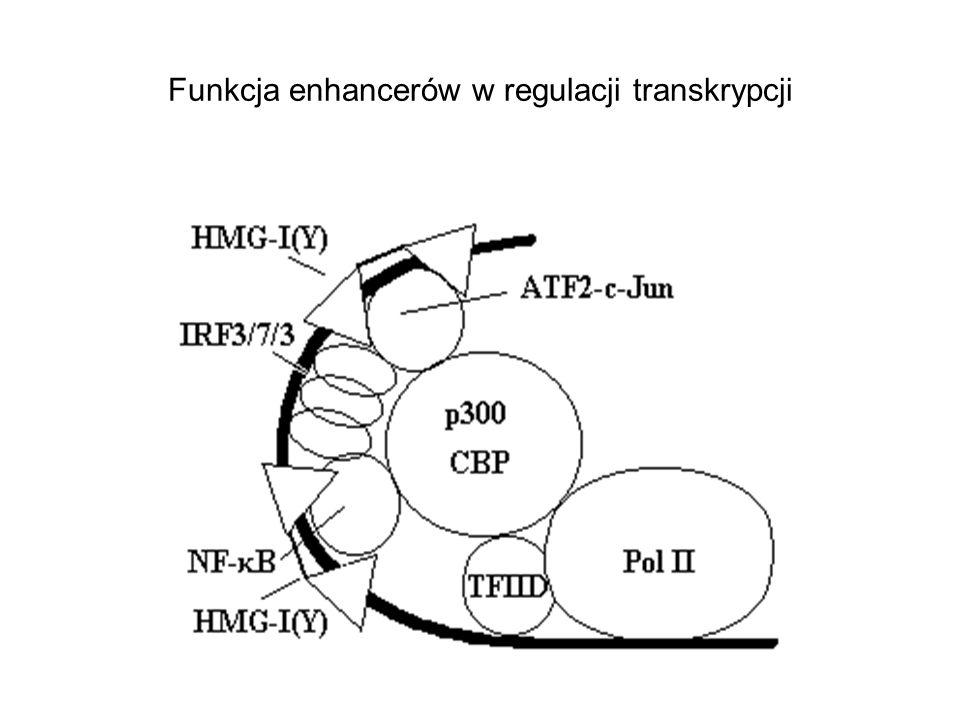 Funkcja enhancerów w regulacji transkrypcji