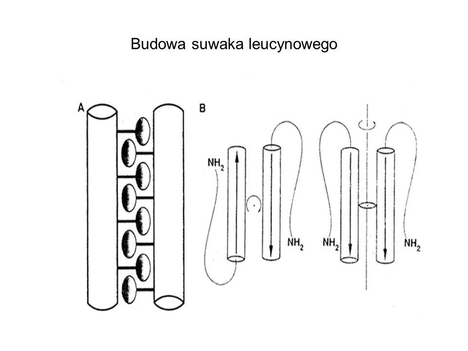 Budowa suwaka leucynowego