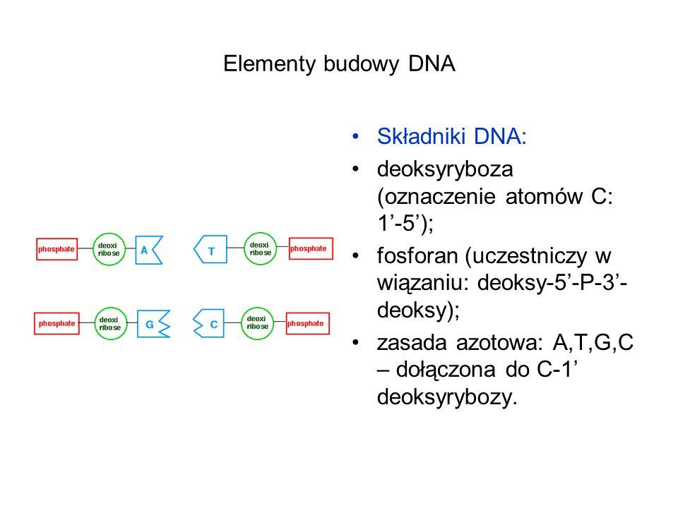 Elementy budowy DNA Składniki DNA: deoksyryboza (oznaczenie atomów C: 1-5); fosforan (uczestniczy w wiązaniu: deoksy-5-P-3- deoksy); zasada azotowa: A