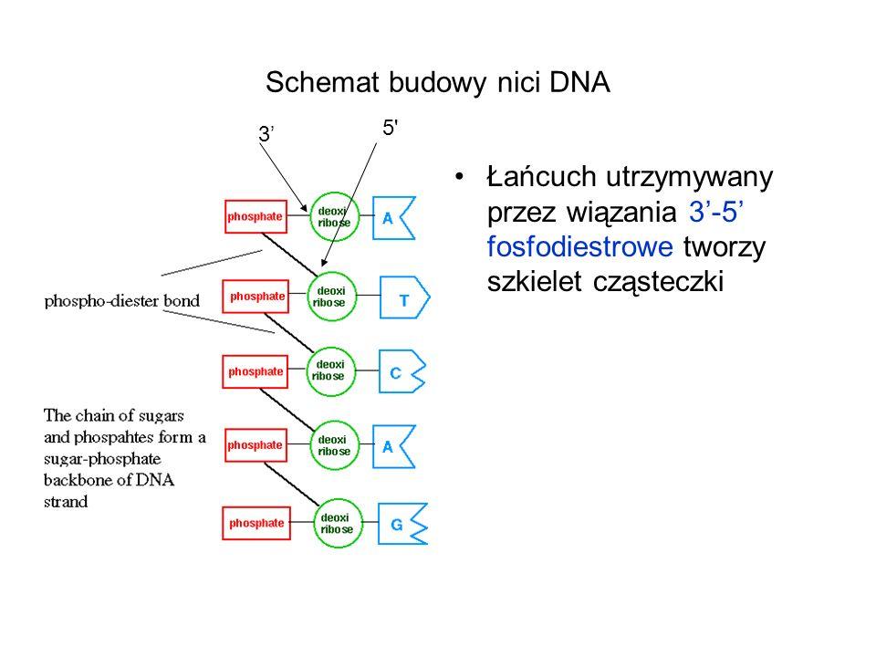 Schemat budowy nici DNA Łańcuch utrzymywany przez wiązania 3-5 fosfodiestrowe tworzy szkielet cząsteczki 3 5'