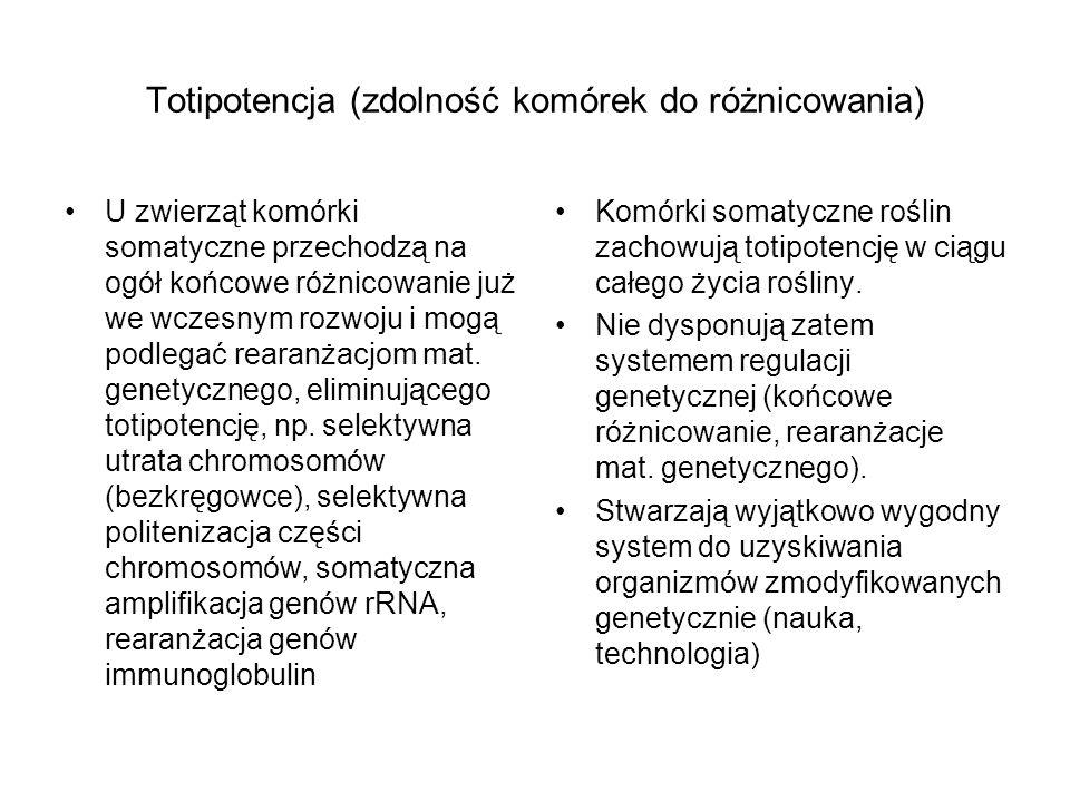 Totipotencja (zdolność komórek do różnicowania) U zwierząt komórki somatyczne przechodzą na ogół końcowe różnicowanie już we wczesnym rozwoju i mogą p