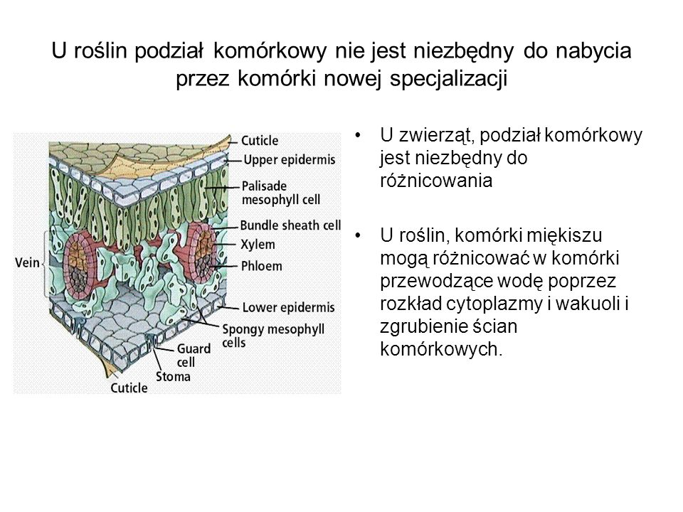 U roślin podział komórkowy nie jest niezbędny do nabycia przez komórki nowej specjalizacji U zwierząt, podział komórkowy jest niezbędny do różnicowani