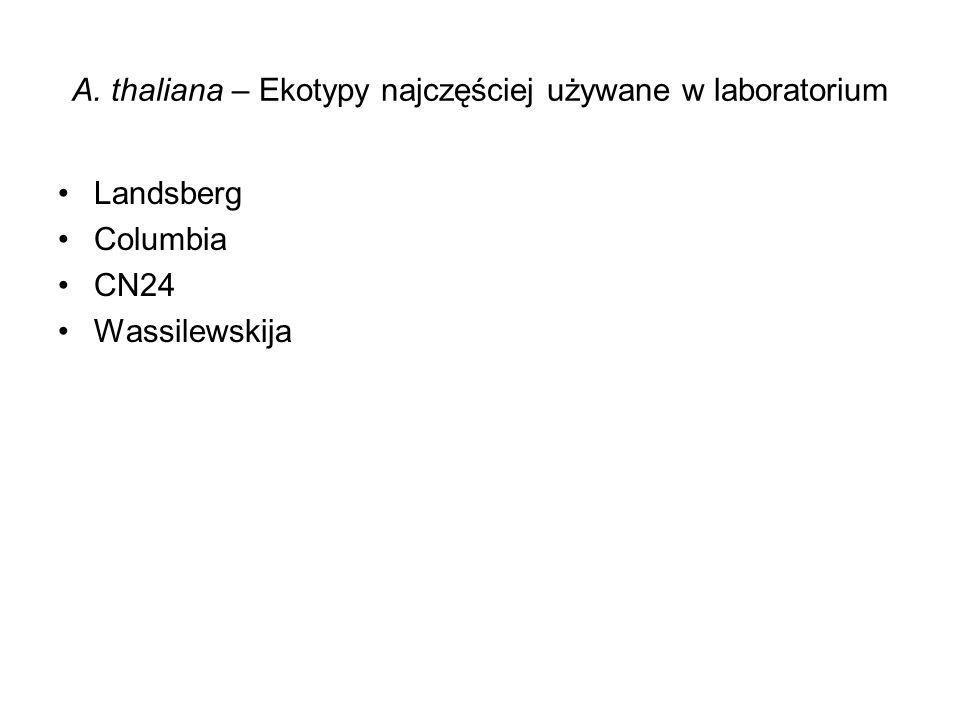 A. thaliana – Ekotypy najczęściej używane w laboratorium Landsberg Columbia CN24 Wassilewskija