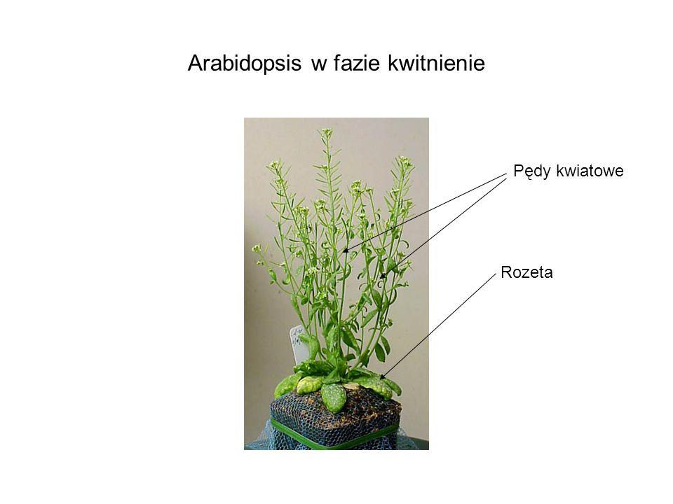 Arabidopsis w fazie kwitnienie Rozeta Pędy kwiatowe