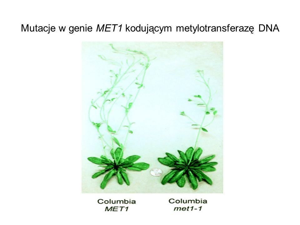 Mutacje w genie MET1 kodującym metylotransferazę DNA