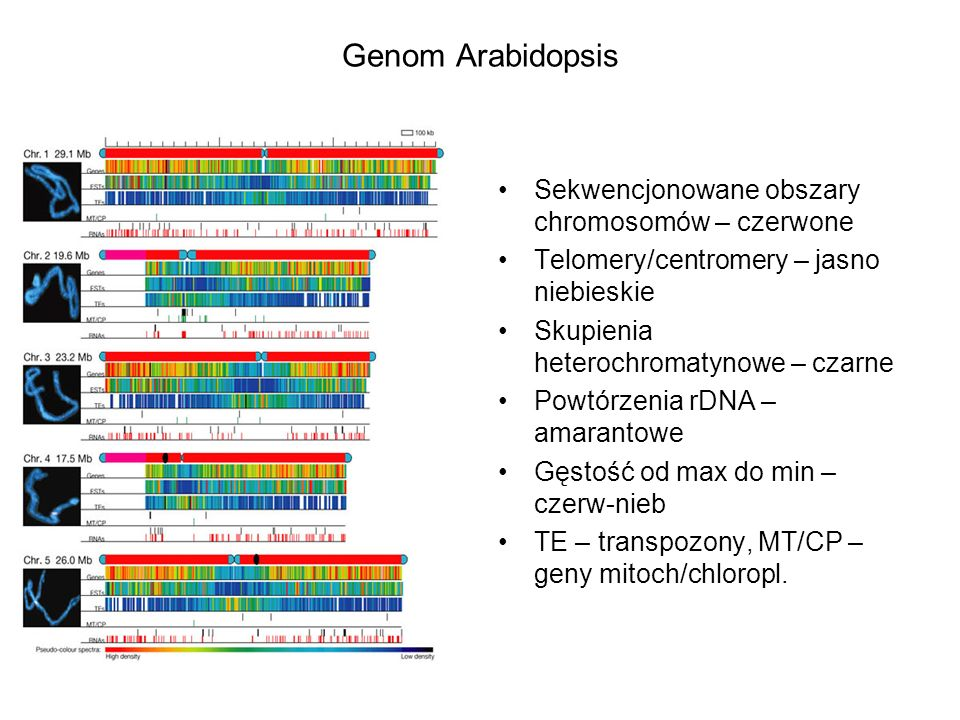 Genom Arabidopsis Sekwencjonowane obszary chromosomów – czerwone Telomery/centromery – jasno niebieskie Skupienia heterochromatynowe – czarne Powtórze