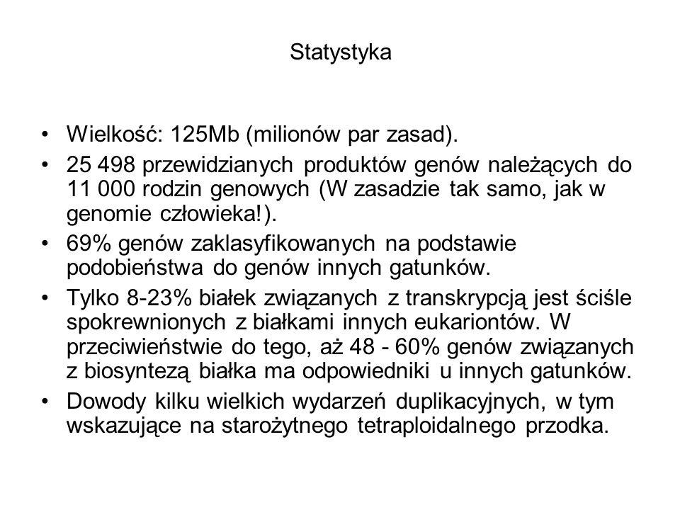 Statystyka Wielkość: 125Mb (milionów par zasad). 25 498 przewidzianych produktów genów należących do 11 000 rodzin genowych (W zasadzie tak samo, jak
