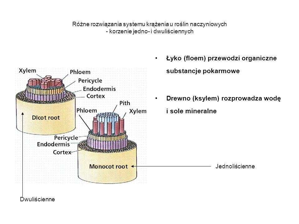 Różne rozwiązania systemu krążenia u roślin naczyniowych - korzenie jedno- i dwuliściennych Łyko (floem) przewodzi organiczne substancje pokarmowe Dre