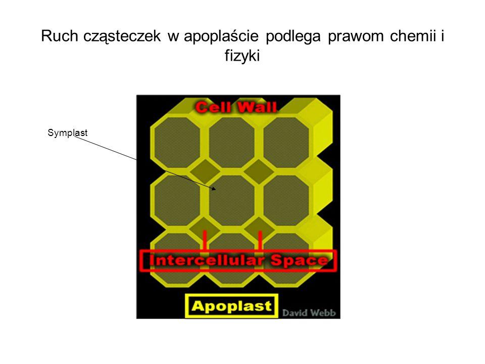 Ruch cząsteczek w apoplaście podlega prawom chemii i fizyki Symplast