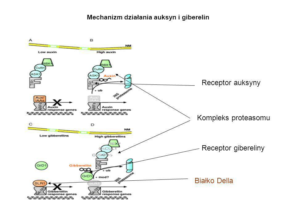 Mechanizm działania auksyn i giberelin Kompleks proteasomu Białko Della Receptor auksyny Receptor gibereliny