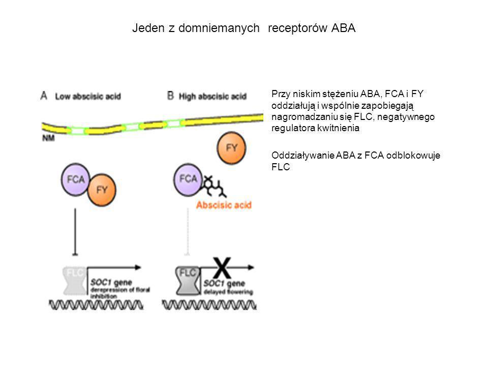Jeden z domniemanych receptorów ABA Przy niskim stężeniu ABA, FCA i FY oddziałują i wspólnie zapobiegają nagromadzaniu się FLC, negatywnego regulatora
