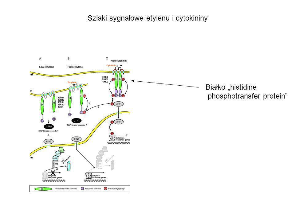 Szlaki sygnałowe etylenu i cytokininy Białko histidine phosphotransfer protein