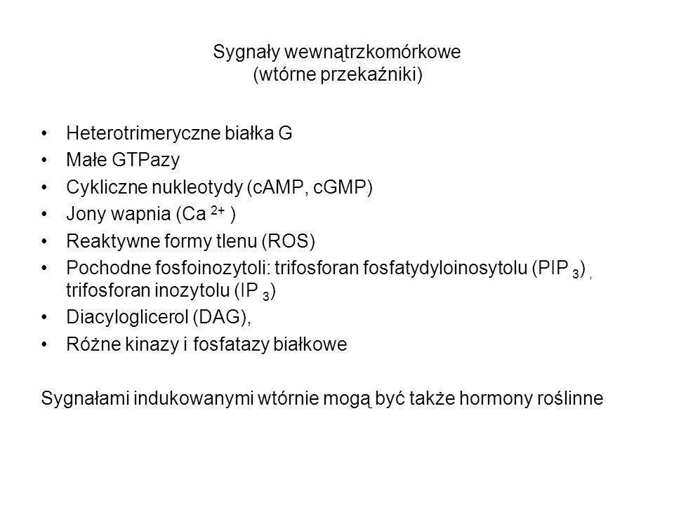 Sygnały wewnątrzkomórkowe (wtórne przekaźniki) Heterotrimeryczne białka G Małe GTPazy Cykliczne nukleotydy (cAMP, cGMP) Jony wapnia (Ca 2+ ) Reaktywne