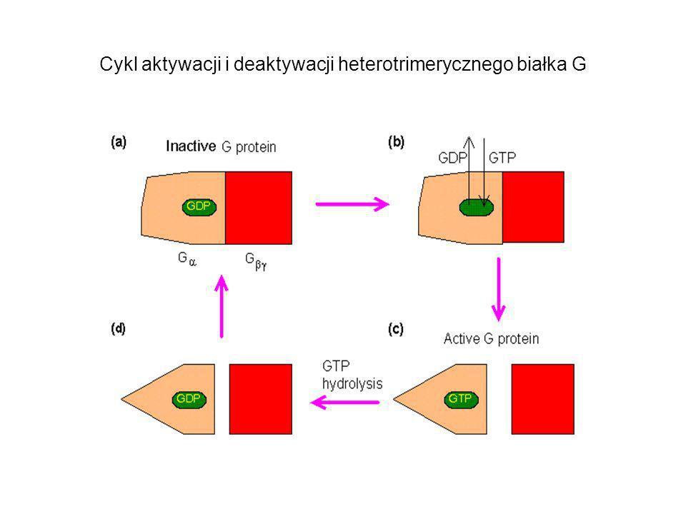 Cykl aktywacji i deaktywacji heterotrimerycznego białka G