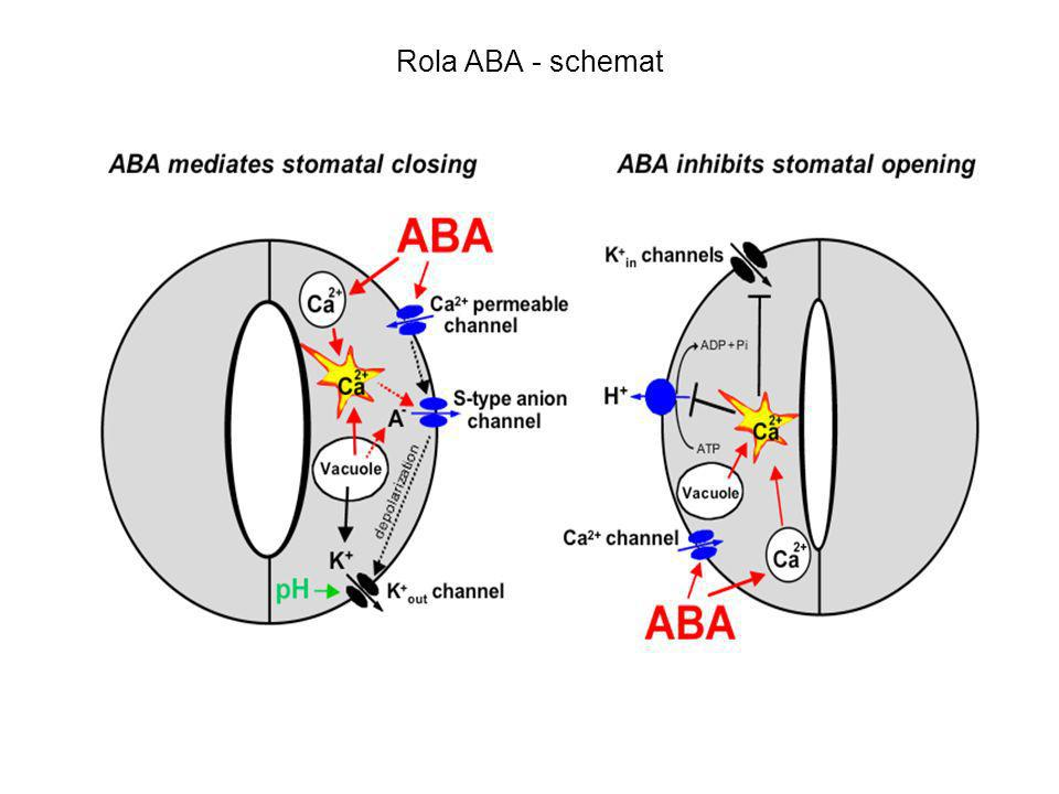 Rola ABA - schemat
