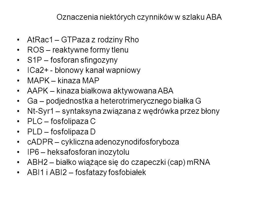 Oznaczenia niektórych czynników w szlaku ABA AtRac1 – GTPaza z rodziny Rho ROS – reaktywne formy tlenu S1P – fosforan sfingozyny ICa2+ - błonowy kanał