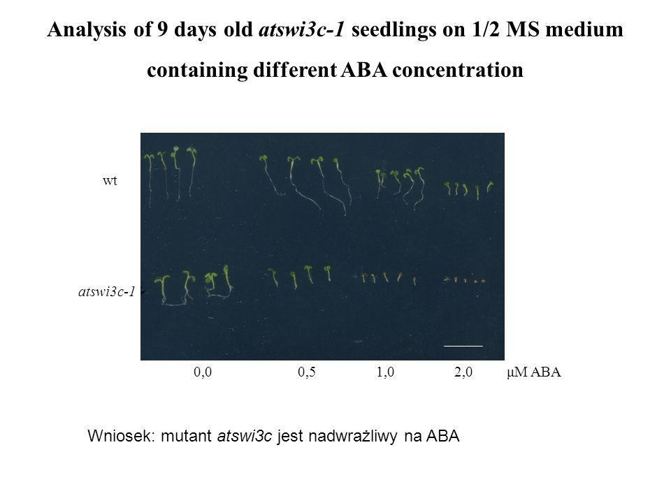 Analysis of 9 days old atswi3c-1 seedlings on 1/2 MS medium containing different ABA concentration 0,0 0,5 1,0 2,0 μM ABA wt atswi3c-1 Wniosek: mutant