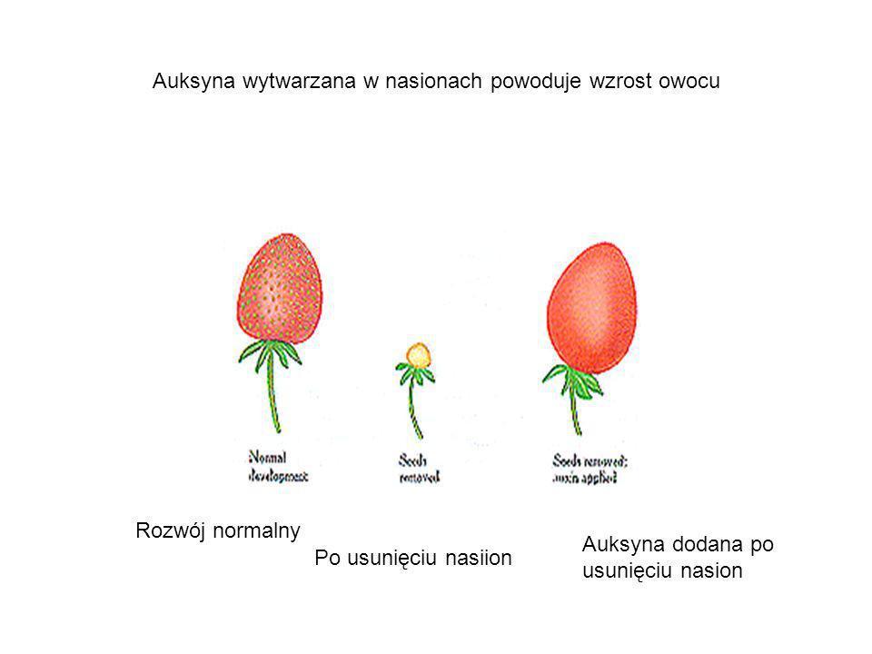 Auksyna wytwarzana w nasionach powoduje wzrost owocu Rozwój normalny Po usunięciu nasiion Auksyna dodana po usunięciu nasion