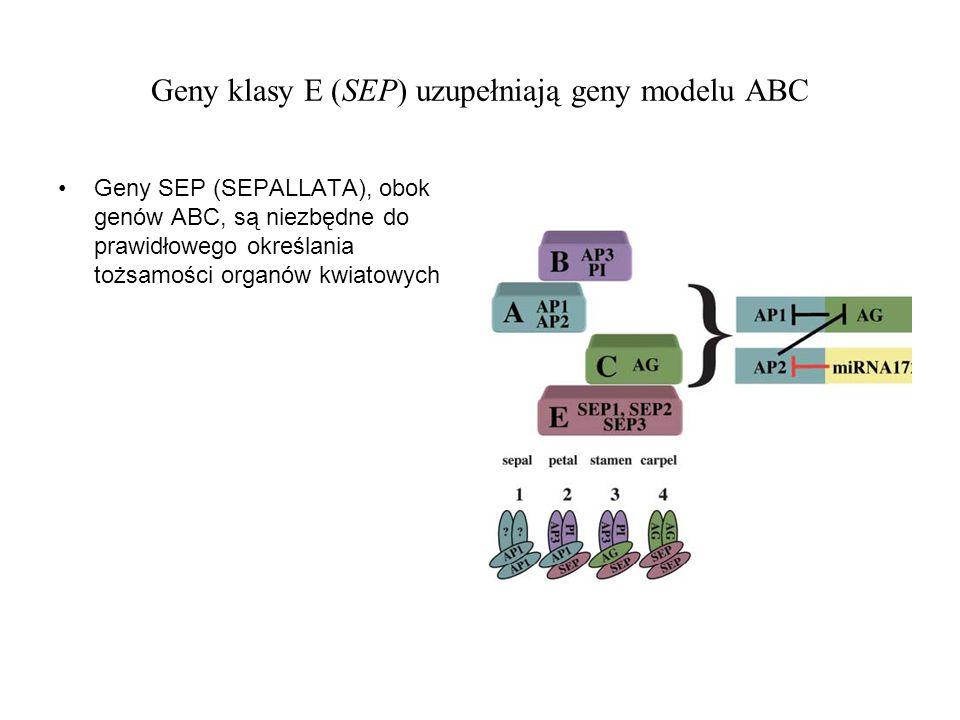 Geny klasy E (SEP) uzupełniają geny modelu ABC Geny SEP (SEPALLATA), obok genów ABC, są niezbędne do prawidłowego określania tożsamości organów kwiato
