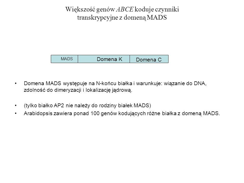 Większość genów ABCE koduje czynniki transkrypcyjne z domeną MADS Domena MADS występuje na N-końcu białka i warunkuje: wiązanie do DNA, zdolność do di