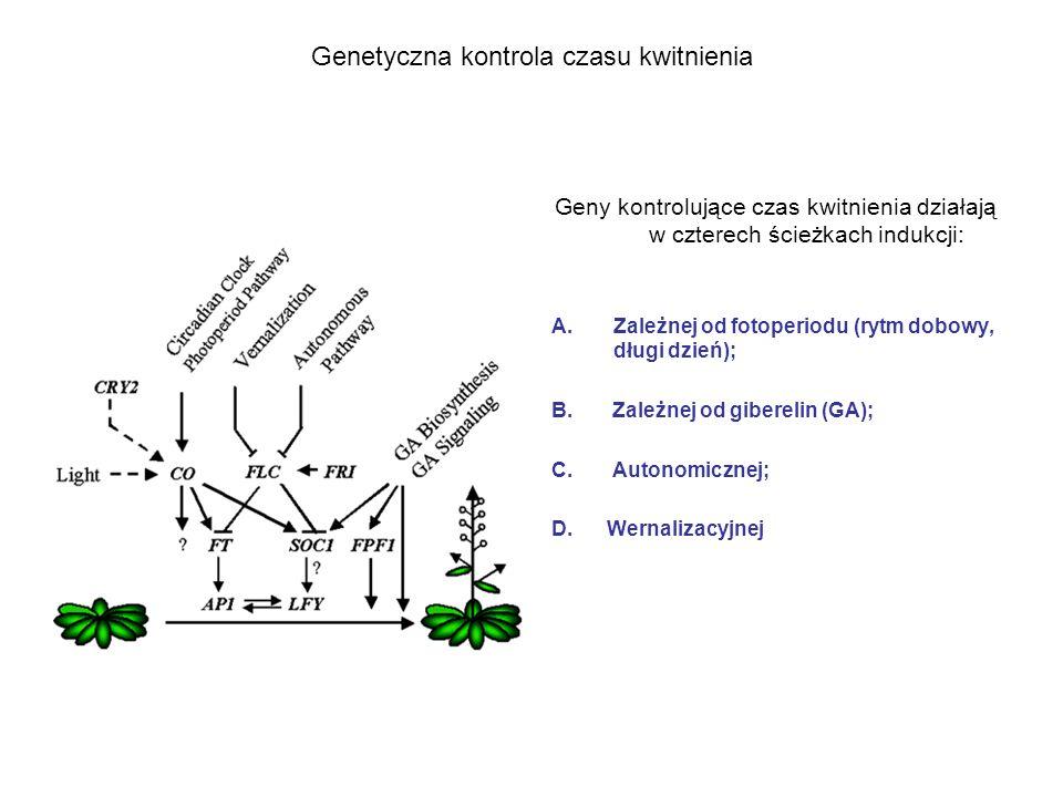 Genetyczna kontrola czasu kwitnienia Geny kontrolujące czas kwitnienia działają w czterech ścieżkach indukcji: A.Zależnej od fotoperiodu (rytm dobowy,