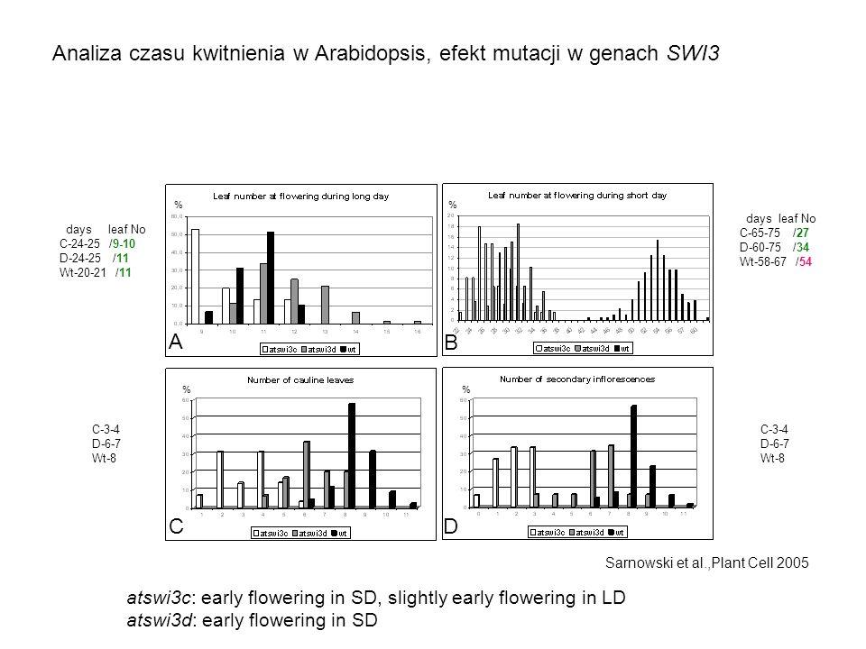 Analiza czasu kwitnienia w Arabidopsis, efekt mutacji w genach SWI3 A B CD % % Sarnowski et al.,Plant Cell 2005 days leaf No C-24-25 /9-10 D-24-25 /11