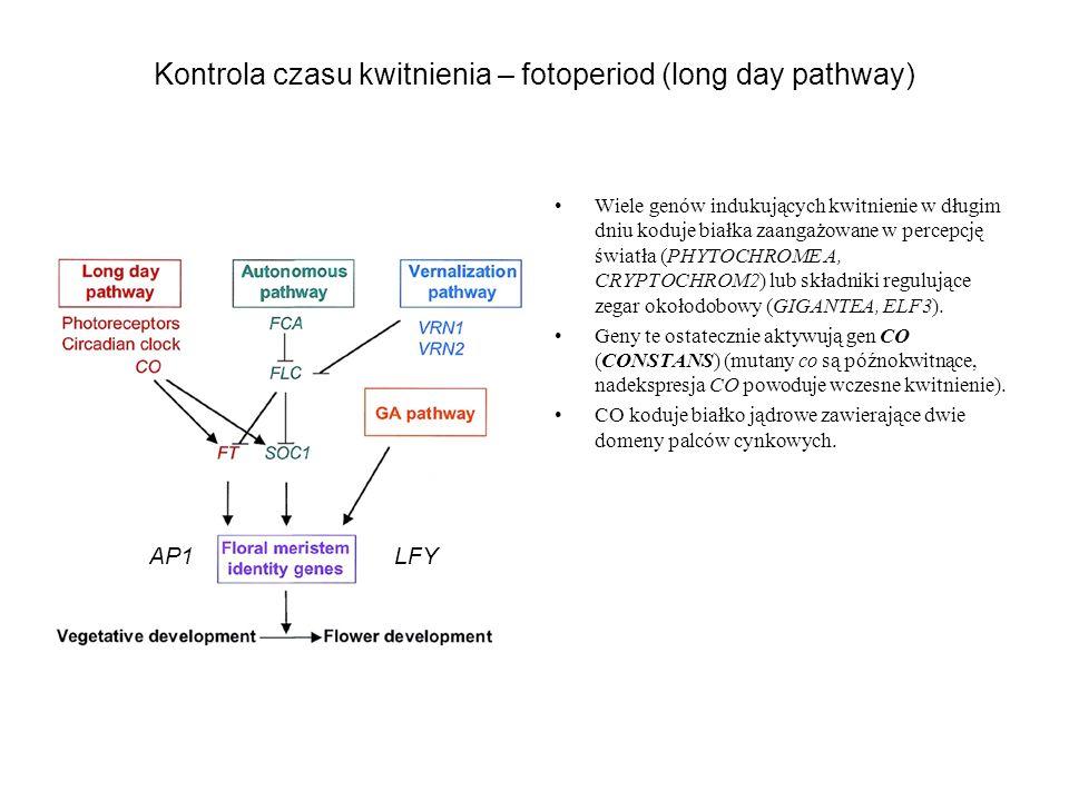 Kontrola czasu kwitnienia – fotoperiod (long day pathway) Wiele genów indukujących kwitnienie w długim dniu koduje białka zaangażowane w percepcję świ
