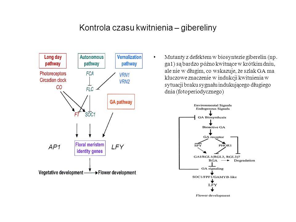 Kontrola czasu kwitnienia – gibereliny Mutanty z defektem w biosyntezie giberelin (np. ga1) są bardzo późno kwitnące w krótkim dniu, ale nie w długim,