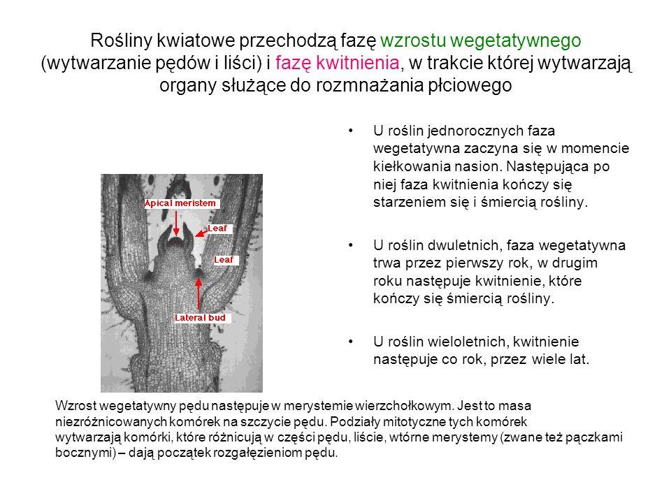 Centralna rola genu LFY (LEAFY) Ortologi LFY występują u wszystkich gatunków roślin (także nie kwiatowych).