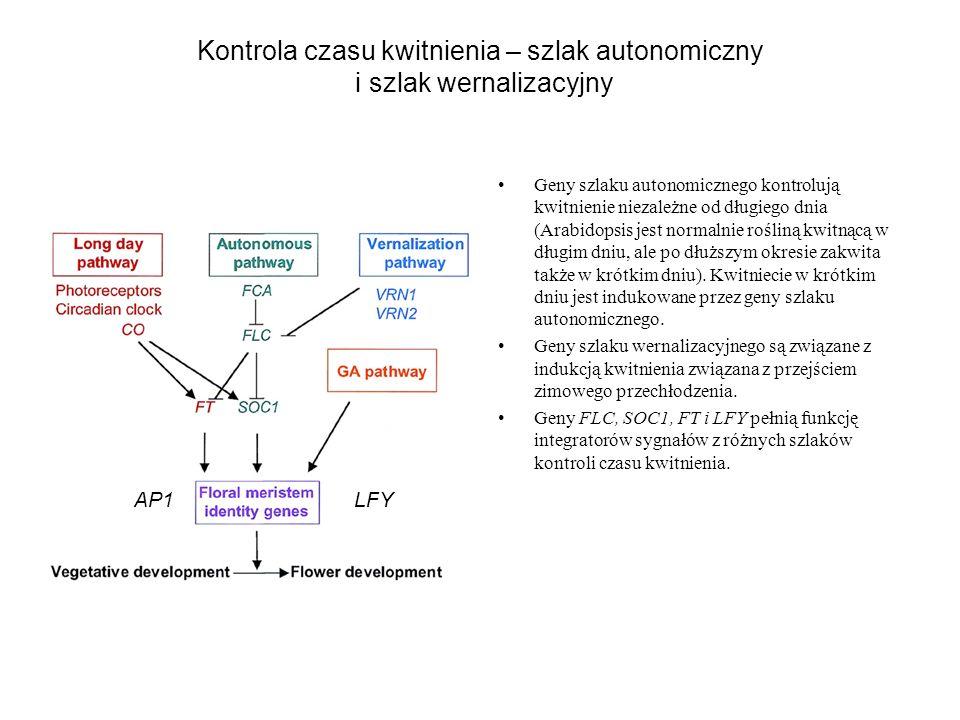 Kontrola czasu kwitnienia – szlak autonomiczny i szlak wernalizacyjny Geny szlaku autonomicznego kontrolują kwitnienie niezależne od długiego dnia (Ar