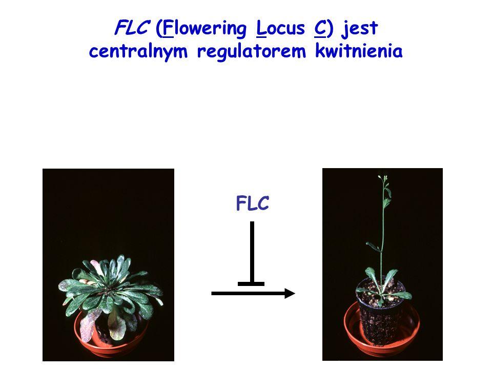 FLC (Flowering Locus C) jest centralnym regulatorem kwitnienia FLC