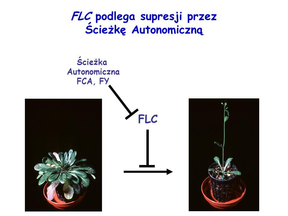 FLC podlega supresji przez Ścieżkę Autonomiczną FLC Ścieżka Autonomiczna FCA, FY