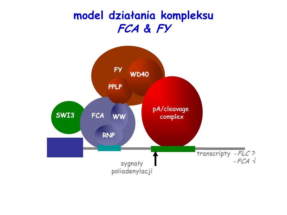 PPLP FY pA/cleavage complex WD40 sygnały poliadenylacji RNP WW FCA transcripty -FLC ? -FCA SWI3 model działania kompleksu FCA & FY