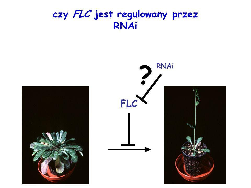 czy FLC jest regulowany przez RNAi FLC RNAi ?