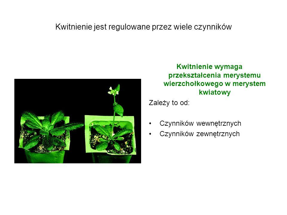 Cztery fazy rozwoju kwiatu 1.W odpowiedzi na sygnały ze środowiska i sygnały wewnętrzne roślina przestawia się z wzrostu wegetatywnego na wzrost reprodukcyjny – ten proces kontrolują geny regulujące czas kwitnienia (flowering time genes).
