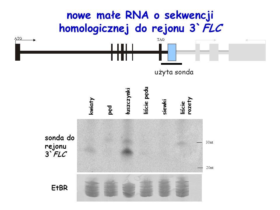 nowe małe RNA o sekwencji homologicznej do rejonu 3`FLC użyta sonda ATG TAG liście rozety łuszczynki liście pędu pędkwiatysiewki 30nt 20nt sonda do re