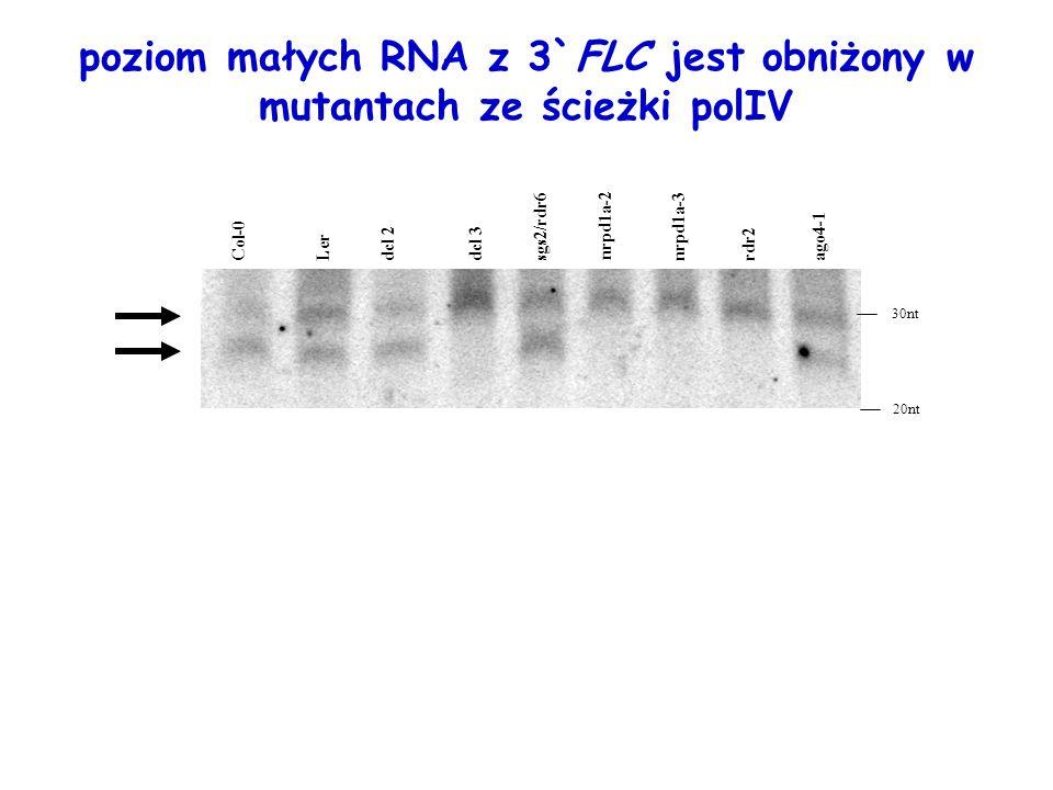 poziom małych RNA z 3`FLC jest obniżony w mutantach ze ścieżki polIV LerCol-0 dcl 2 dcl 3 sgs2/rdr6nrpd1a-3 nrpd1a-2 rdr2 ago4-1 30nt 20nt