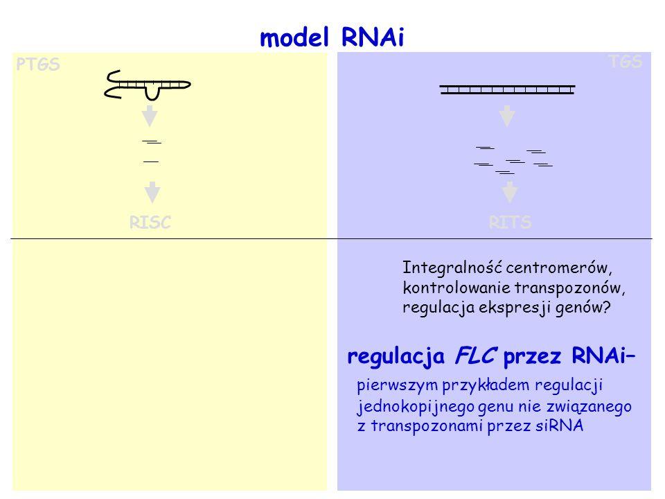 TGS RISC RITS Integralność centromerów, kontrolowanie transpozonów, regulacja ekspresji genów? PTGS regulacja FLC przez RNAi– pierwszym przykładem reg