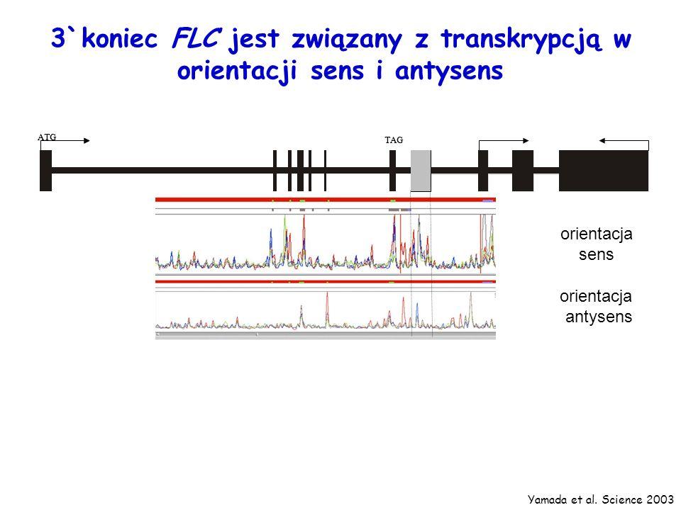 small RNA region ATG TAG small RNA region ATG TAG orientacja sens orientacja antysens 3`koniec FLC jest związany z transkrypcją w orientacji sens i an