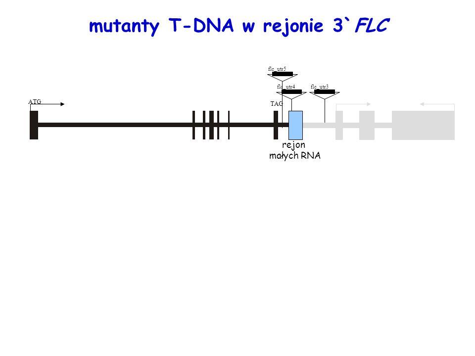 flc_utr4flc_utr3 flc_utr5 rejon małych RNA ATG TAG mutanty T-DNA w rejonie 3`FLC