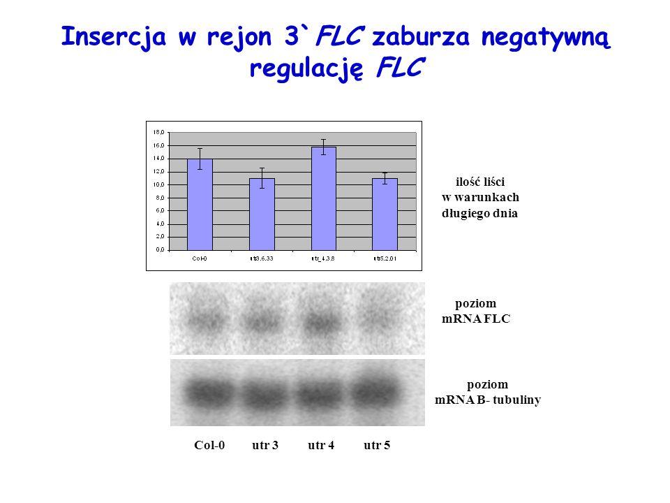 Insercja w rejon 3`FLC zaburza negatywną regulację FLC poziom mRNA FLC utr 3Col-0utr 4utr 5 poziom mRNA B- tubuliny ilość liści w warunkach długiego d