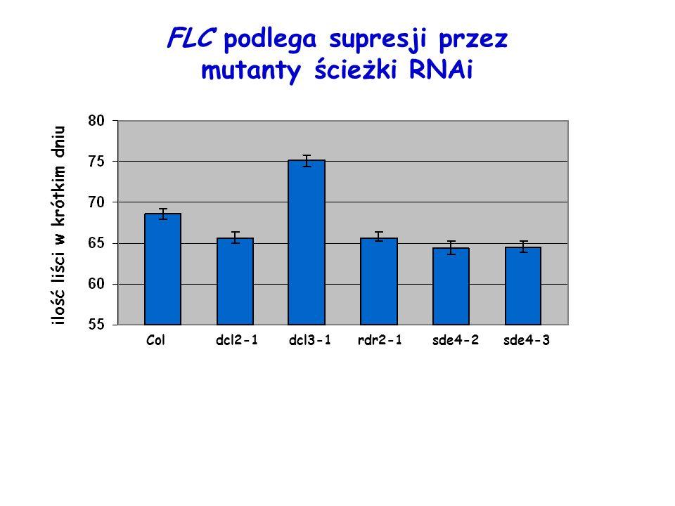 Coldcl2-1dcl3-1rdr2-1sde4-2sde4-3 ilość liści w krótkim dniu FLC podlega supresji przez mutanty ścieżki RNAi