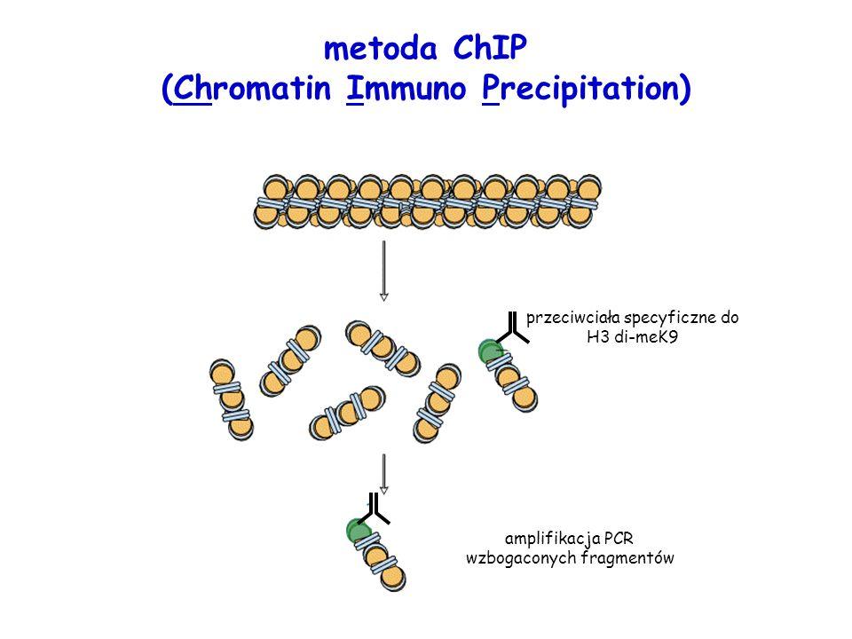 przeciwciała specyficzne do H3 di-meK9 amplifikacja PCR wzbogaconych fragmentów metoda ChIP (Chromatin Immuno Precipitation)