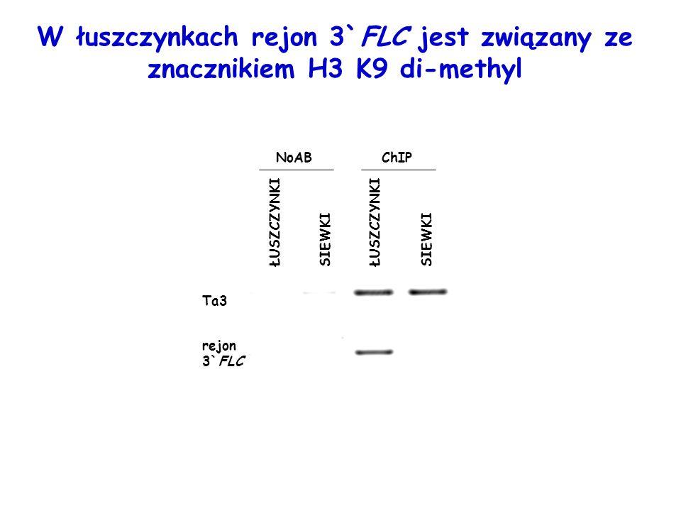 ChIPNoAB ŁUSZCZYNKI SIEWKI ŁUSZCZYNKI SIEWKI Ta3 rejon 3`FLC W łuszczynkach rejon 3`FLC jest związany ze znacznikiem H3 K9 di-methyl