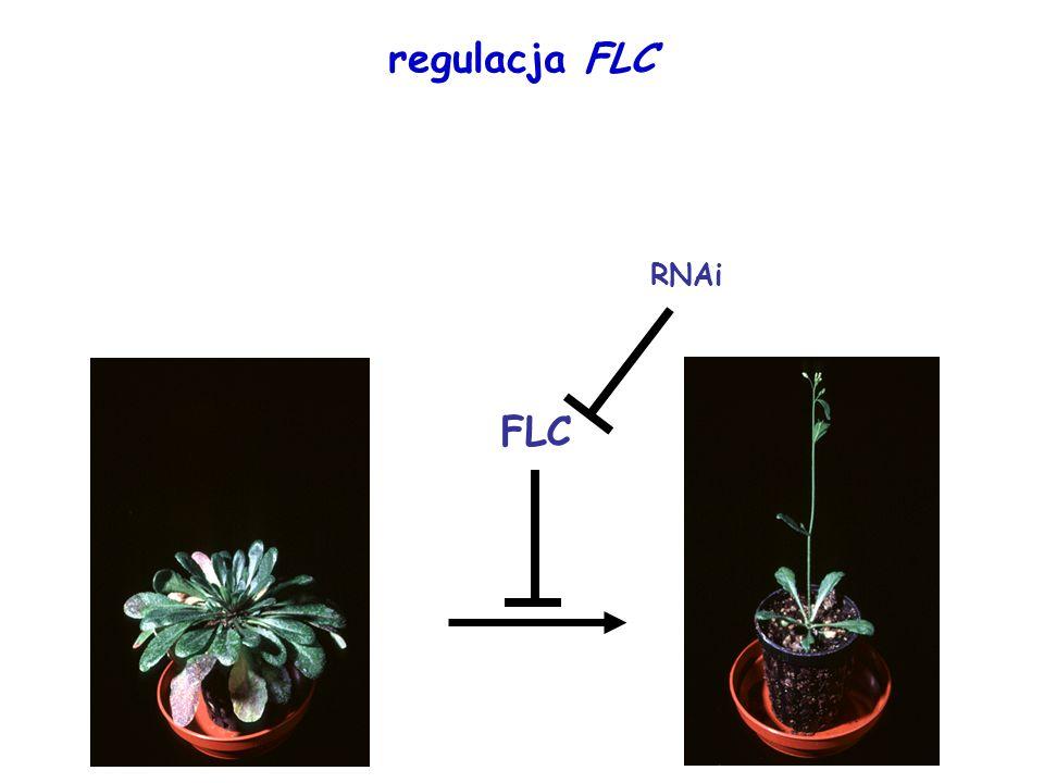 regulacja FLC FLC RNAi