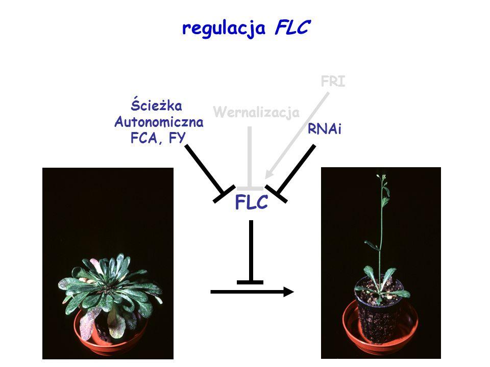 FLC RNAi Wernalizacja FRI regulacja FLC Ścieżka Autonomiczna FCA, FY