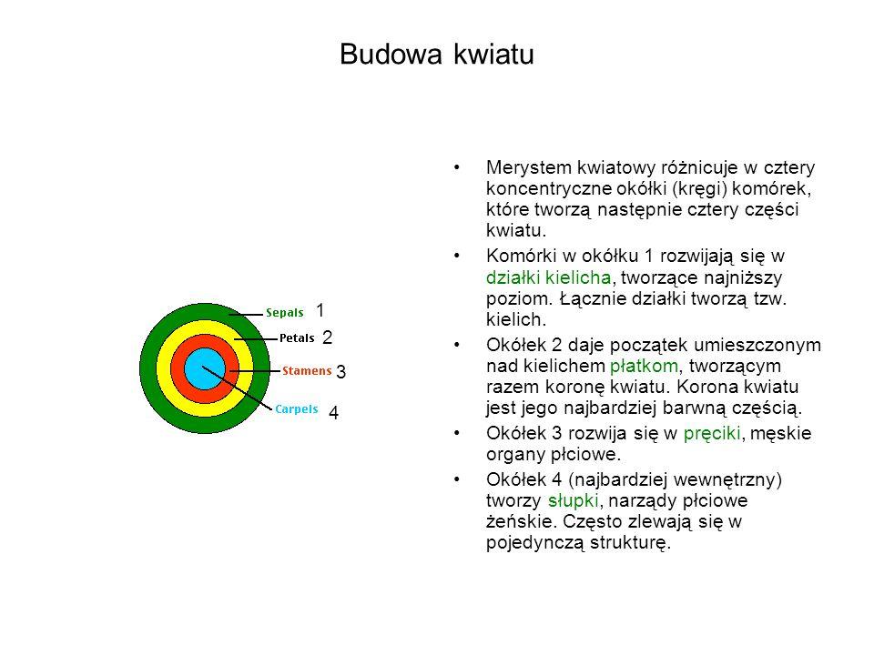 Analiza czasu kwitnienia w Arabidopsis, efekt mutacji w genach SWI3 A B CD % % Sarnowski et al.,Plant Cell 2005 days leaf No C-24-25 /9-10 D-24-25 /11 Wt-20-21 /11 days leaf No C-65-75 /27 D-60-75 /34 Wt-58-67 /54 C-3-4 D-6-7 Wt-8 C-3-4 D-6-7 Wt-8 atswi3c: early flowering in SD, slightly early flowering in LD atswi3d: early flowering in SD
